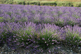 Magnificent lavender bushes on the stone grounds.