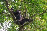 Schimpanse im Dschungel von Uganda
