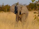 Elefant, Savuti