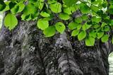 ブナの木 - 235371738
