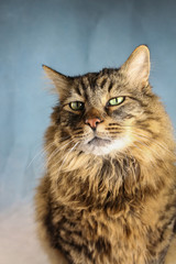 Close Up of A Long Hair Domestic Tabby Cat