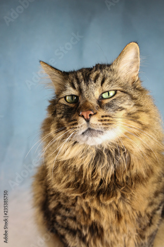 Close Up of A Long Hair Domestic Tabby Cat - 235385750