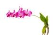 Thai wild orchid flowers on white background
