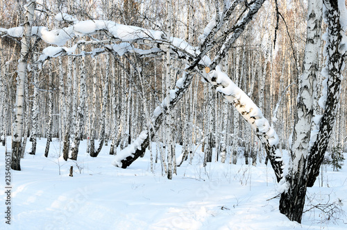 White brich forest in winter evening. Sunset. Russian nature. - 235400531