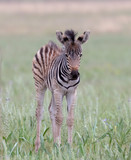 Baby zebra in the wild © African Images