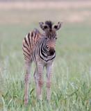 Baby zebra in the wild - 235446101