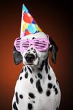 Portrait of Dalmatian dog in party cone