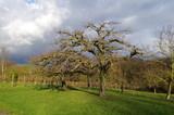 Kahler Obstbaum vor Wolken, mit Wintersonne