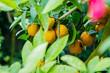 Citrus fruit on a tree - Mandarin