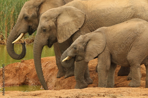 A family of African elephants drinking at a water hole.