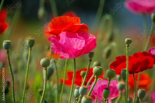 poppies close up - 235472954