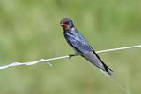Barn swallow (Hirundo rustica) - 235494509