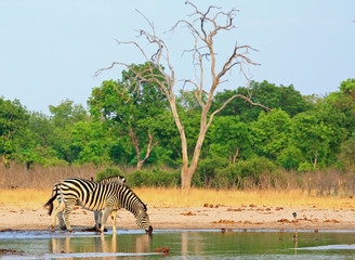 Burchell's Zebra taking a drink from a waterhole with a natural bushveld background and a pale blue sky, Hwange National Park, Zimbabwe