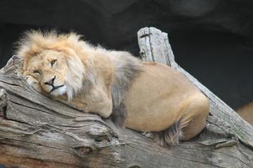 Löwe entspannt
