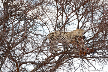 Leopard on the tree with catch, animal behaviour. Big cat feeding young zebra, Etosha National Park in the Africa. Wildlife scene from nature. African leopard kill zebra. Safari in Namibia.