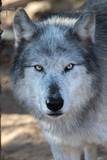 Gray Wolf Close up of face