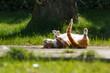 canvas print picture - Rote Katze wälzt sich