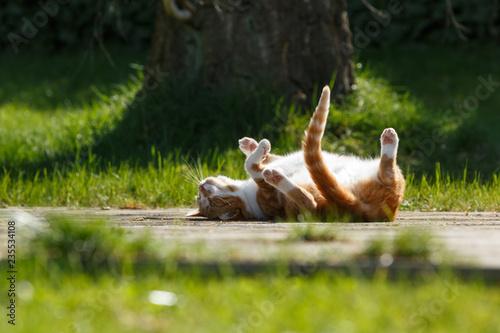 canvas print picture Rote Katze wälzt sich