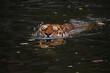 Siberian Amur tiger swimming in water