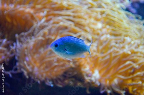 fototapeta na ścianę Fish in salt water aquarium