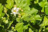 closeup of blackberry bush with flowers and buds in springtime