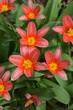 Red tulips, spring flowers in garden.