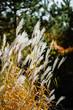 decorative grass in the garden