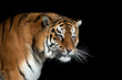 Leinwanddruck Bild - Tiger portrait on black background