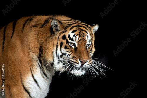 Leinwanddruck Bild Tiger portrait on black background