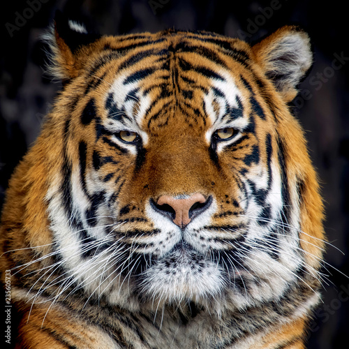 Leinwandbild Motiv Tiger portrait on black background