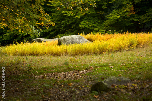Yellow ferns and boulder in a woods opening, New Hampshire.