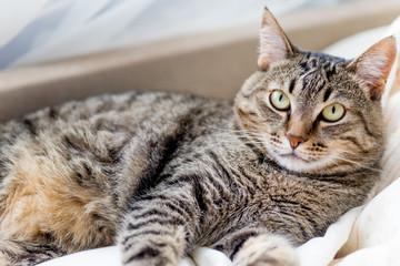 Portrait of a cute cat closeup at home © Nichizhenova Elena
