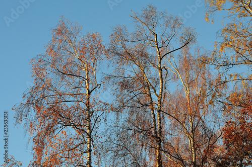 birch trees on sunny autumn morning - 235638131
