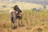 Young Zebra with mother in the African bushveld - 235670971
