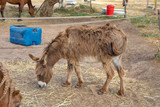 Spanish domestic donkey, of a breed known as Zamorano Leones from Spain, with great shaggy wool or hair, grazing on a plot of a farm