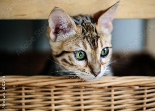 Leinwanddruck Bild Young Bengal Kitten in her Basket