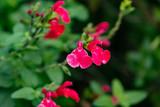 Baby Sage Flowers in Bloom - 235732959