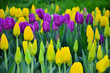 early spring tulips.  yellow and purple tulips