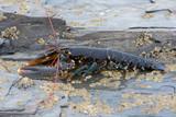European Lobster (Homarus gammarus)/European Lobster on barnacle encrusted rock - 235763371
