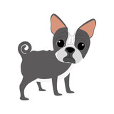 cute boston terrier pet
