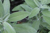 Sage (Salvia officinalis) , a medicinal plant, also called medicinal herb. Sage is an aromatic plant - 235781376