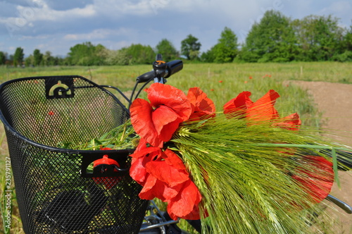 Red poppies and a bicycle. Flowers in the field. Bouquet of scarlet poppies - 235791127