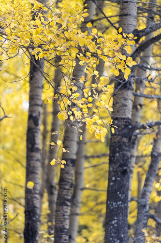 autumn colors on the leaves of white birch