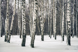 Birch forest at winter day - 235823995