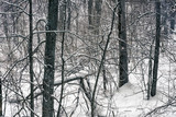 Wild forest at winter snowstorm - 235824195