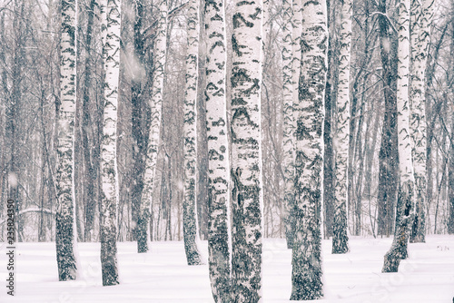 Birch forest at winter snowstorm - 235824350