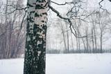 Birch tree in winter forest - 235824526