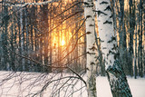 Birch tree in winter forest at sunset - 235824597