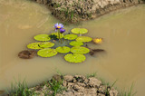 Lotus pool , lotus pond ; Lotus flower planting in rice