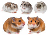 hamsters isolated on a white background - 235855315